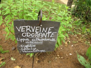 Verveine odorante (digestive et rafraichissante)