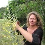 Le bouillon blanc : plante pectorale.